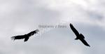 condors, El Chalten, Patagonia