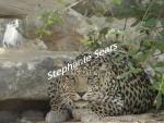 Oman leopardess