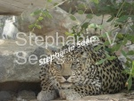 Oman leopardess