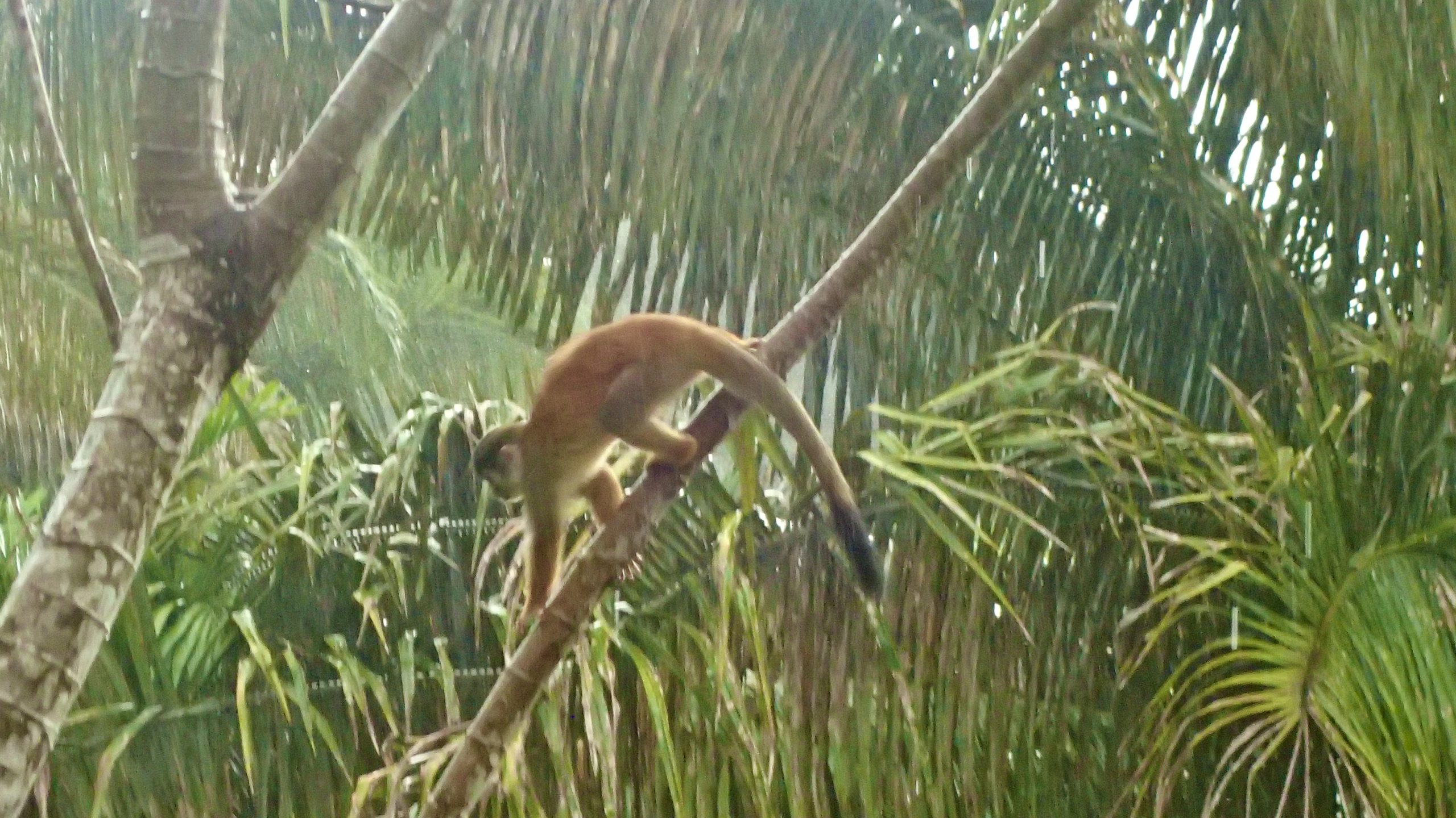 Squirrel monkey at Corcovado lodge during rain, CR