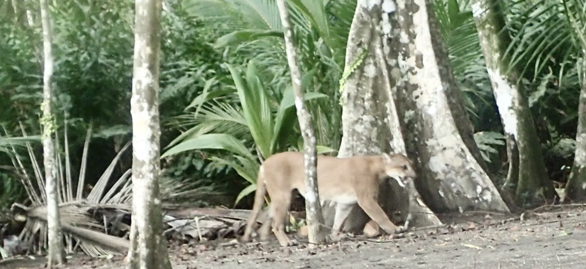 Leaning against a coconut tree and here comes the big, bad , lean macho puma, Playa Cativo, CR