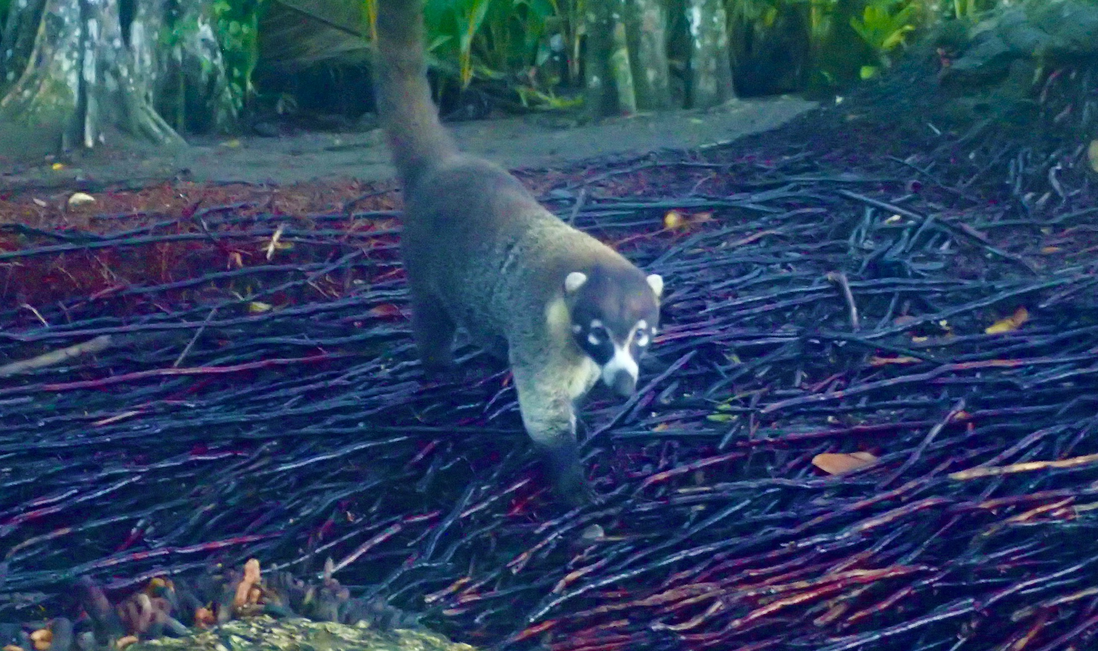 Coati, you are wild, what is your problem coming up to me like this??